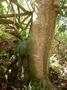 Hernandiaceae - Hernandia nukuhivensis