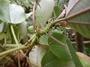 Urticaceae - Pipturus henryanus