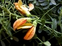 Fabaceae - Sesbania marchionica