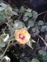 Malvaceae - Abutilon hirtum