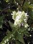 Lamiaceae - Ocimum basilicum