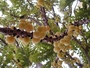 Phyllanthaceae - Phyllanthus acidus