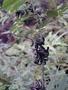 Fabaceae - Indigofera suffruticosa