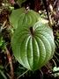 Dioscoreaceae - Dioscorea bulbifera