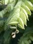 Fabaceae - Flemingia strobilifera