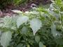 Solanaceae - Physalis angulata