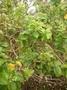 Lamiaceae - Premna serratifolia