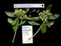 Goodeniaceae - Scaevola marquesensis