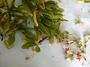 Goodeniaceae - Scaevola taccada var. tuamotensis