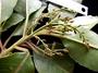 Trimeniaceae - Trimenia nukuhivensis