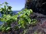 Rhamnaceae - Colubrina asiatica