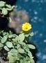 Portulacaceae - Portulaca lutea