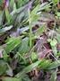 Poaceae - Axonopus compressus