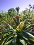 Pandanaceae - Freycinetia arborea