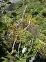 Viscaceae - Korthalsella platycaula