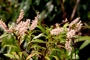 Cunoniaceae - Weinmannia marquesana var. myrsinites