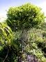 Thymelaeaceae - Wikstroemia johnplewsii