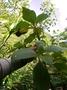 Gesneriaceae - Cyrtandra tahuatensis