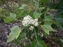 Euphorbiaceae - Aleurites moluccana