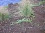 Cucurbitaceae - Citrullus lanatus