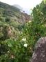 Convolvulaceae - Ipomoea violacea
