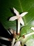 Rubiaceae - Ixora marquesensis