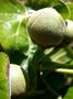 Malvaceae - Lebronnecia kokioides