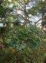 Combretaceae - Terminalia glabrata var. brownii