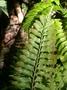 Aspleniaceae - Asplenium tenerum