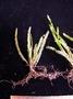 Polypodiaceae - Calymmodon grantii