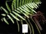 Blechnaceae - Doodia marquesensis