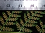 Dennstaedtiaceae - Hypolepis dicksonioides