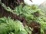 Tectariaceae - Tectaria jardinii