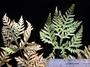 Pteridaceae - Doryopteris concolor