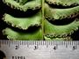 Lindsaeaceae - Lindsaea repens var. marquesensis