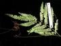 Lindsaeaceae - Lindsaea propinqua