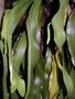 Ophioglossaceae - Ophioglossum pendulum