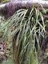 Pteridaceae - Haplopteris elongata