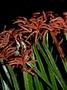 Schizaeaceae - Schizaea dichotoma