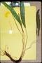 Blechnaceae - Blechnum nukuhivense