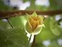 Malvaceae - Abutilon eremitopetalum