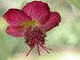 Malvaceae - Abutilon menziesii