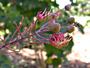 Fabaceae - Mezoneuron kavaiense