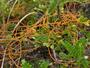 Lauraceae - Cassytha filiformis