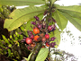 Campanulaceae - Cyanea fissa