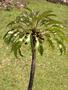 Campanulaceae - Delissea rhytidosperma