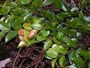 Ebenaceae - Diospyros sandwicensis
