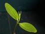 Euphorbiaceae - Euphorbia haeleeleana