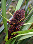 Cyperaceae - Gahnia aspera subsp. globosa