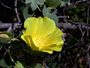 Malvaceae - Gossypium tomentosum